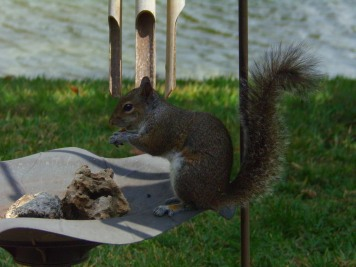 Squirrel eating nut hid in coral on bird bath