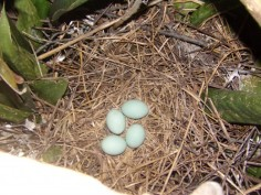 Blue eggs of tricolored heron