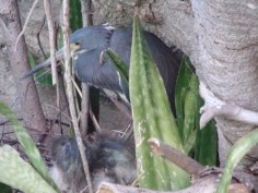 Adult female on nest with hatchlings one week old
