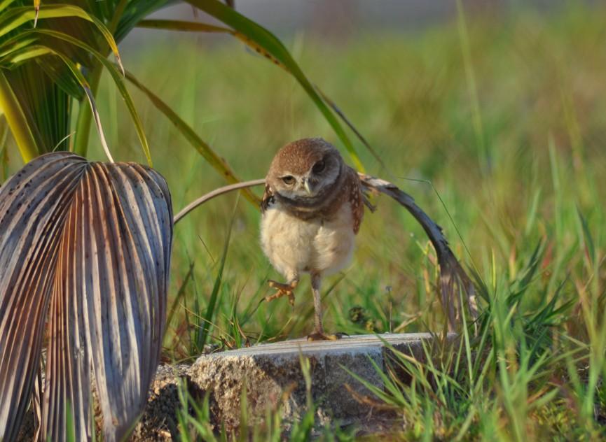 Adi Owl Background 1.5mb