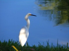 Egret at water's edge
