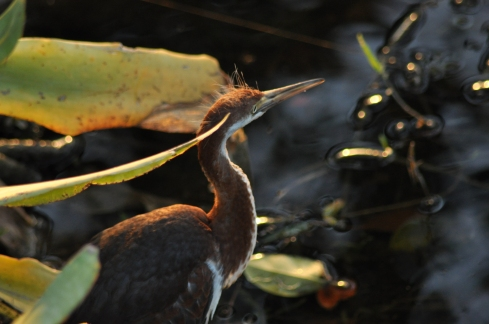 Juvenile at water's edge