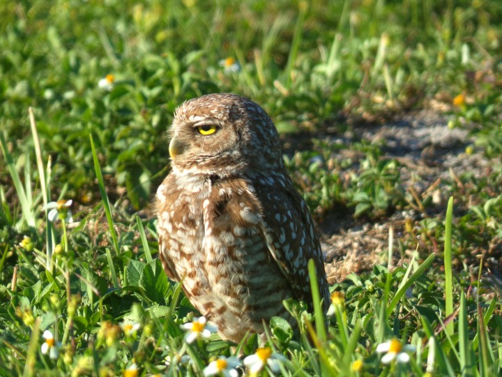 Burrowing Owl adult by burrow
