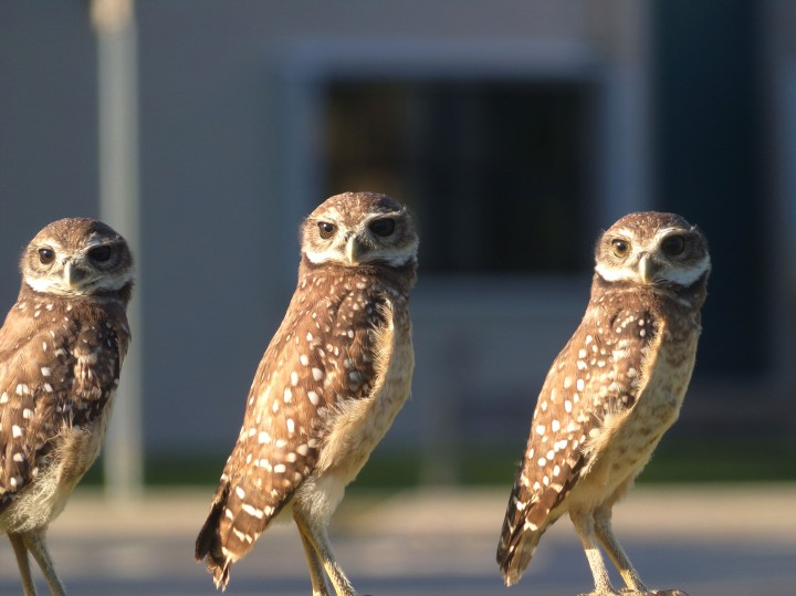 Three Wise Owl