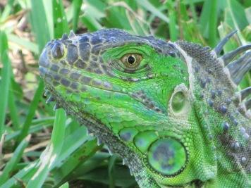 Green iguana (non-native)